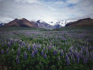 IJsland bloemen