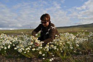 kruiden plukken in IJsland